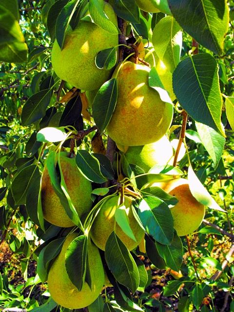 Осенние сорта груш