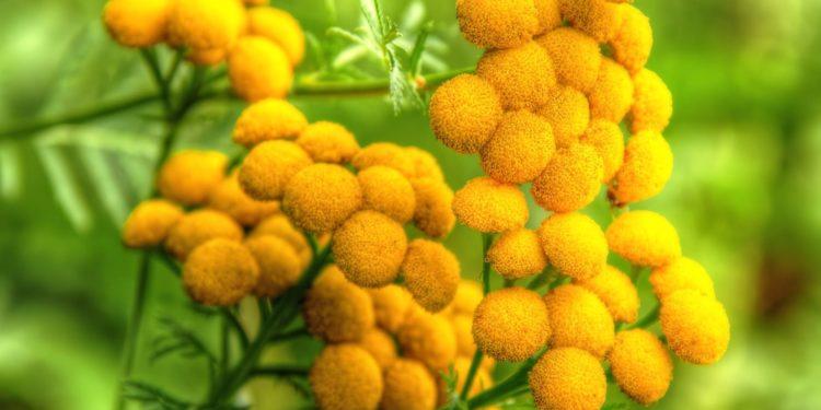 Защита растений от вредителей - пижма