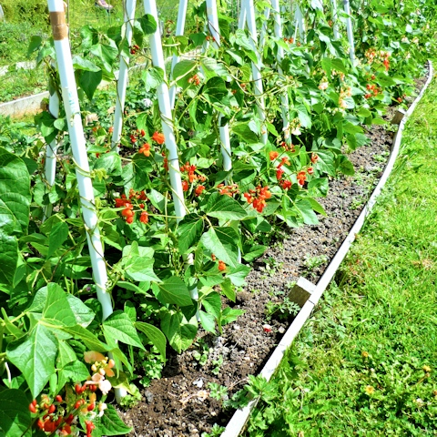 Вьющаяся фасоль - выращивание