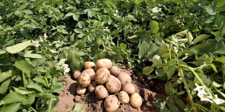 Как получить три урожая картофеля с одного участка