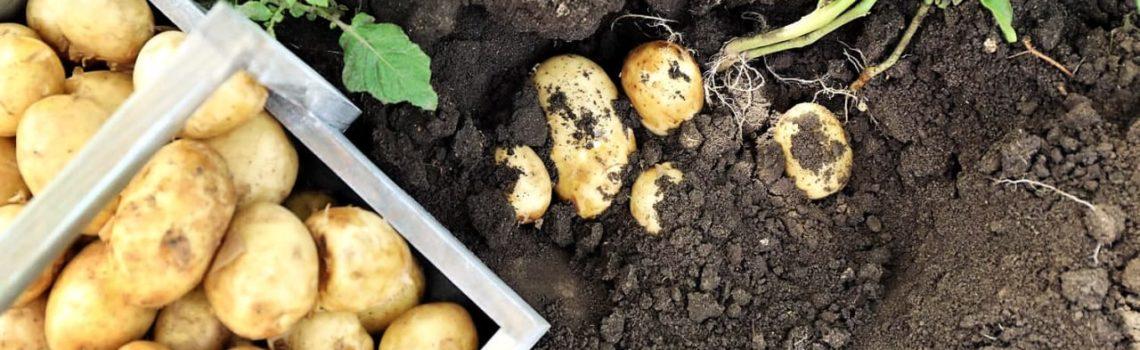 Картофель - сорта ранние
