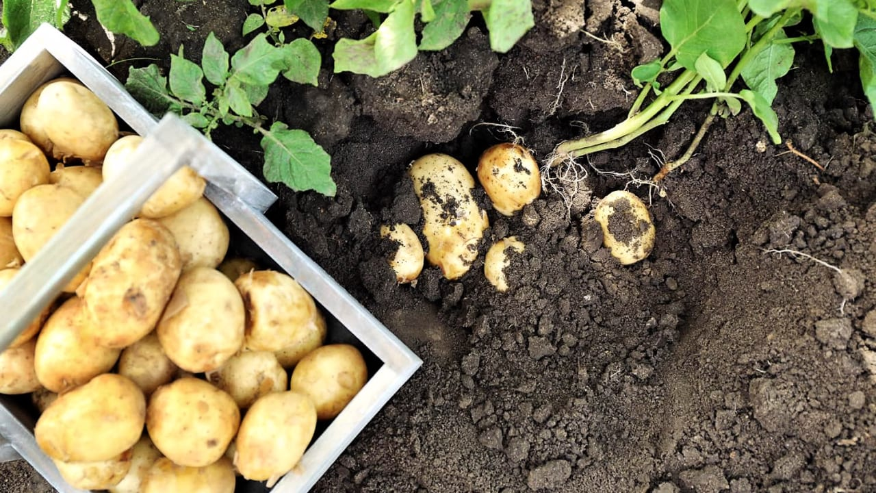 как начинает расти картошка фото сегодня хочу