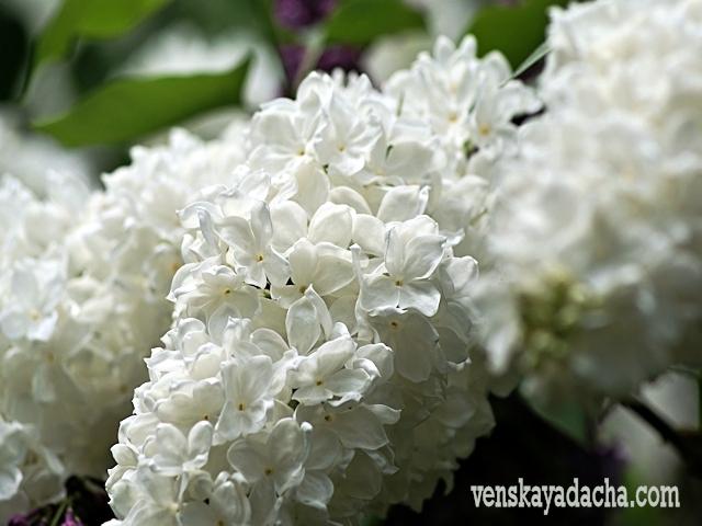 Сорт белой сирени - Флора