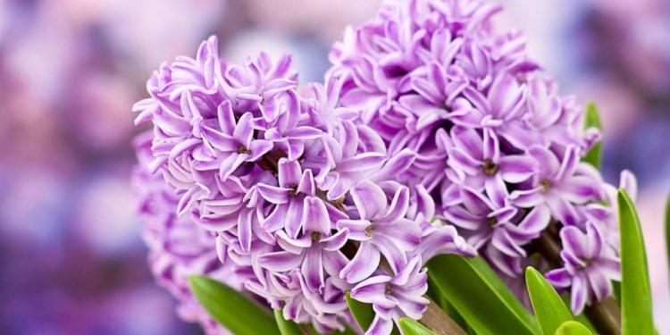 Луковичные цветы - уход весной