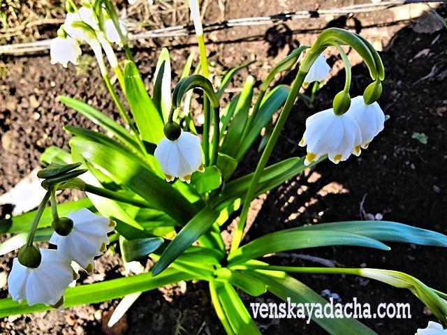 Уход за луковичными весной
