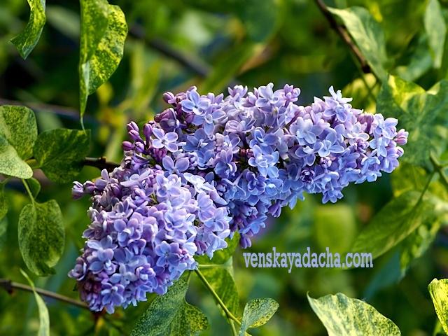 Сорта сирени голубой и сиренево-лиловой окраски - Аукубафолия