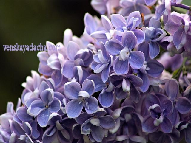 Сорта сирени голубой и сиренево-лиловой окраски - Кондорсе