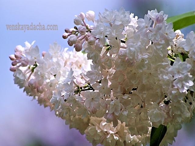 Сорта сирени с розовыми цветками - Красавица Москвы