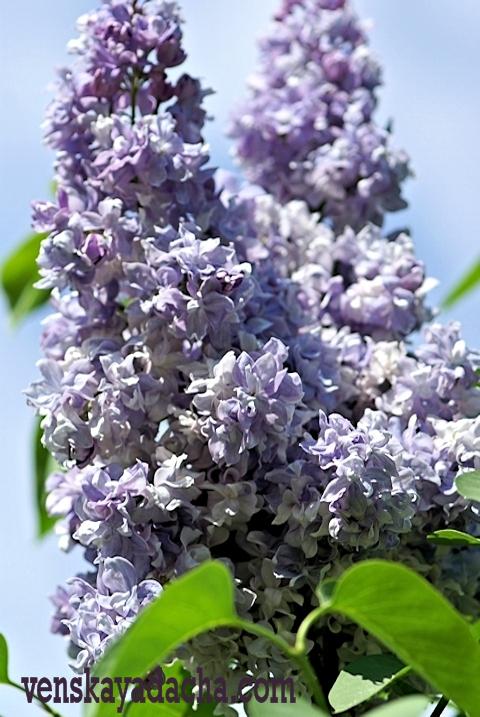 Сорта сирени голубой и сиренево-лиловой окраски - Небо Москвы