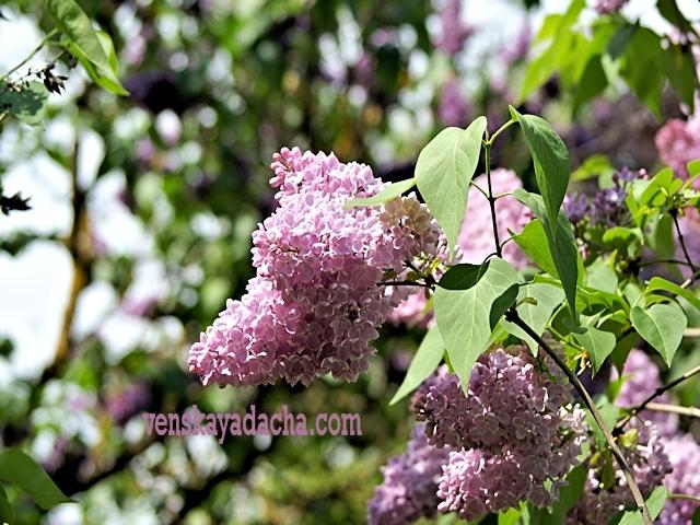 Сорта сирени с розовыми цветками - Вера Хоружая