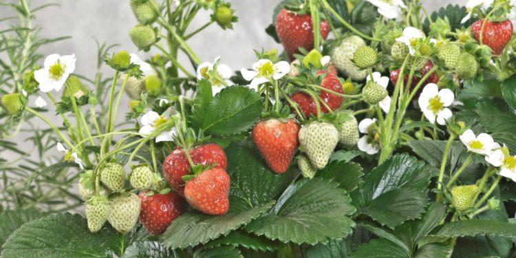 Июнь - ягоды земляники садовой