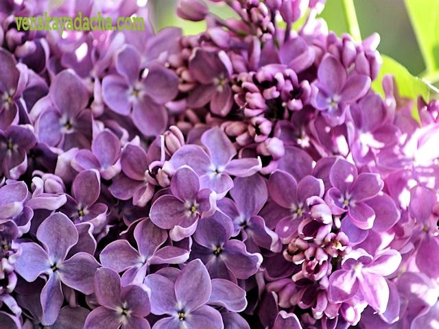 Сорта сирени фиолетовые с простыми цветками - Мечта