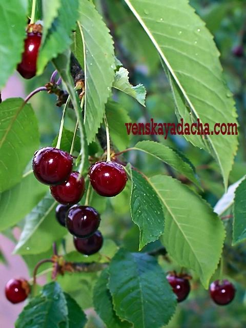 Плодовый сад в июне - вишня