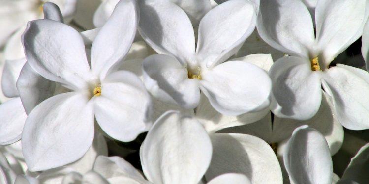 Сирень белая - сорта