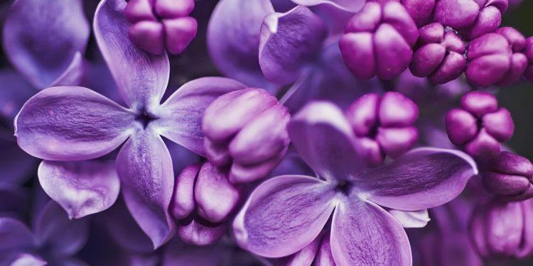 Сирень - сорта фиолетовые, мажентовые, пурпурные