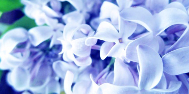 Сирень - сорта голубые и сиренево-лиловые