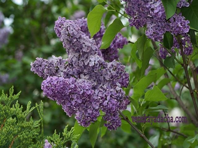 Сорта сирени фиолетовые с простыми цветками - Сумерки