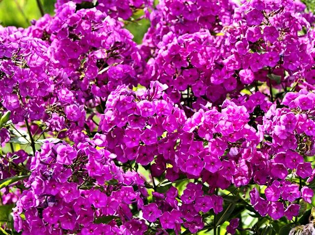 Цветник в июле - флокс