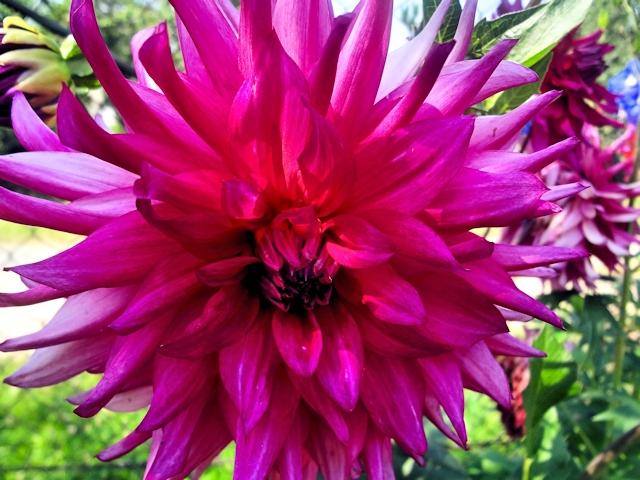 Цветник в июле - георгин