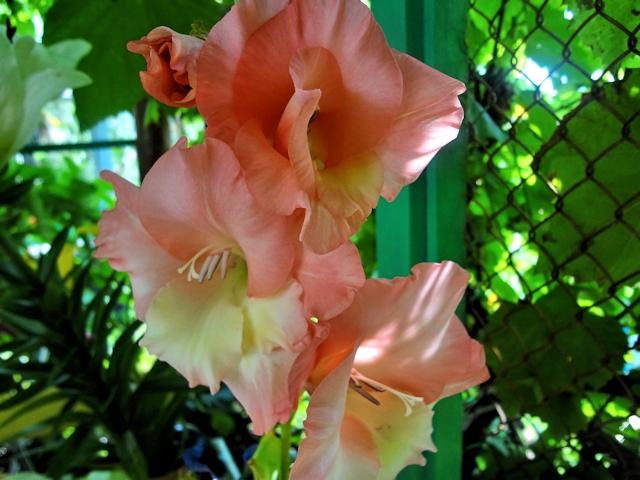 Цветник в июле - гладиолус