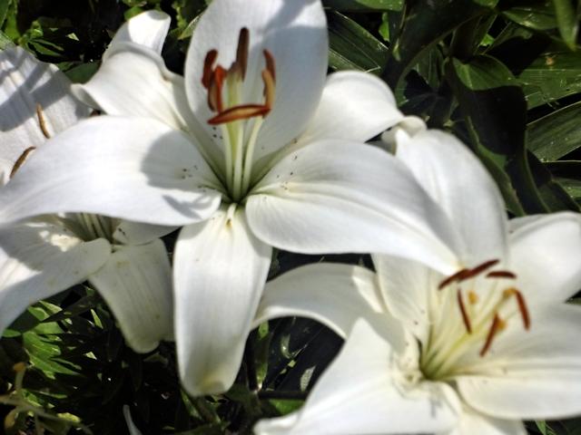 Цветник в июле - лилия