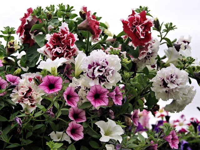 Цветник в июле - петуния в контейнере