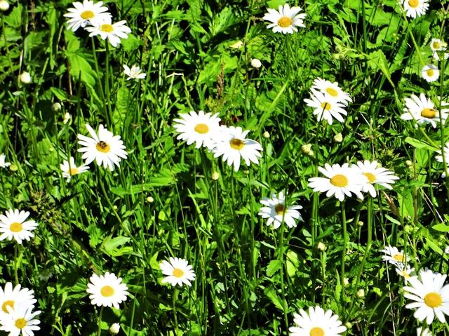 Цветник в июле - ромашка