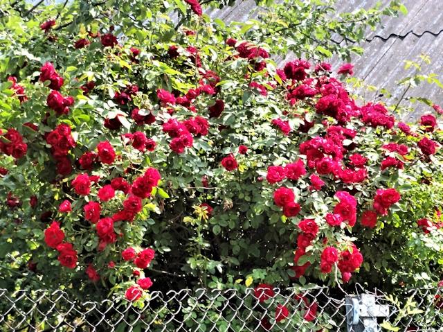 Цветник в июле - роза