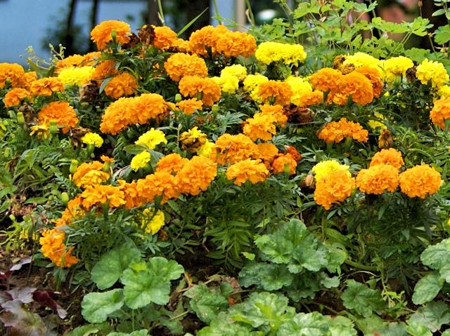 Цветник в июле - тагетес