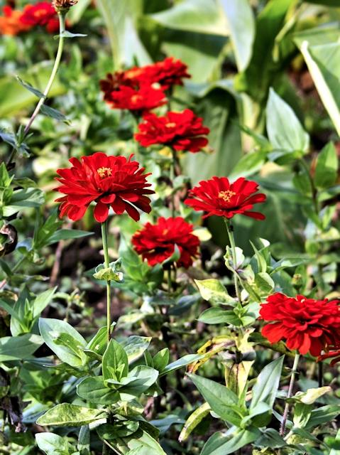 Цветник в июле - цинния