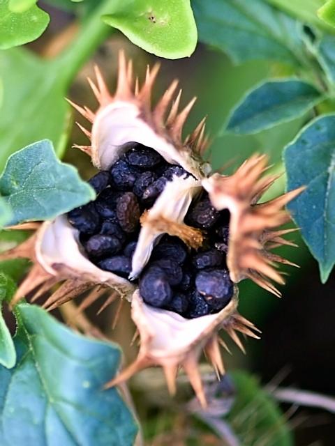 Датура древовидная - плод с семенами