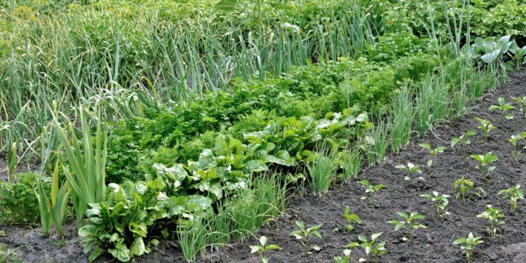 Июль - повторные посевы в огороде