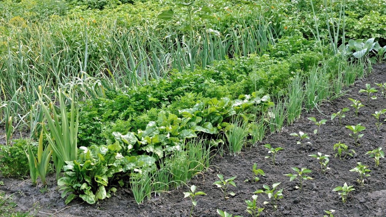 Выращивание редьки для осенне-зимнего потребления