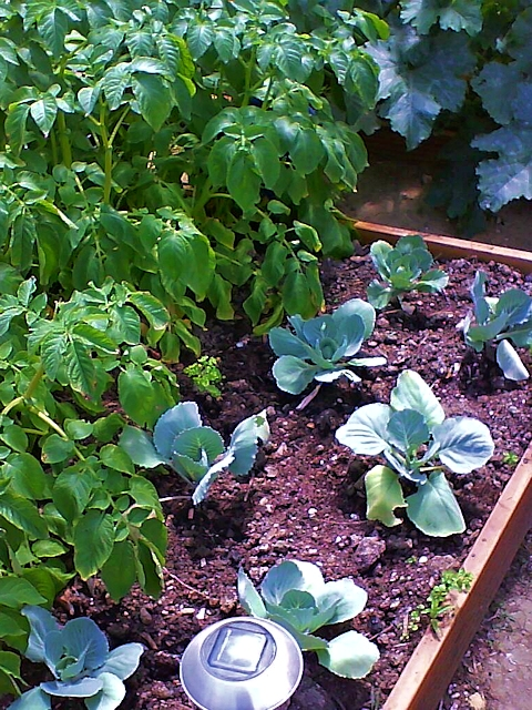 Повторные посевы в огороде в июле