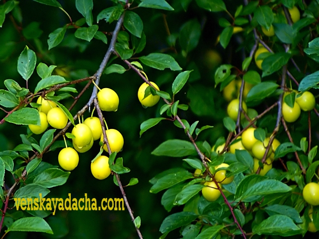 Плодовый сад в июле - алыча