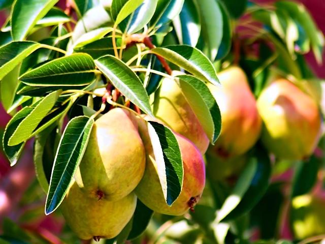 Плодовый сад в июле - груши