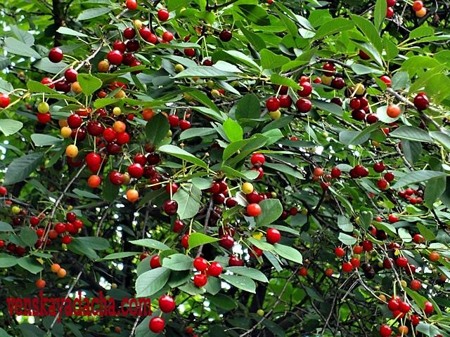 Плодовый сад в июле - вишня