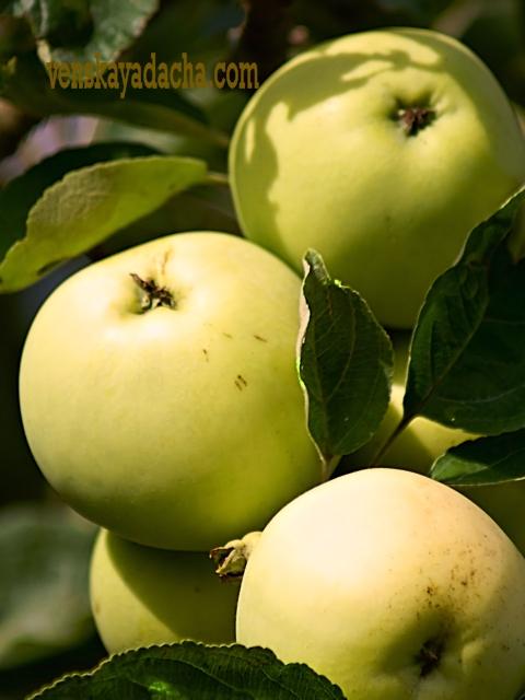 Плодовый сад в июле - яблоня