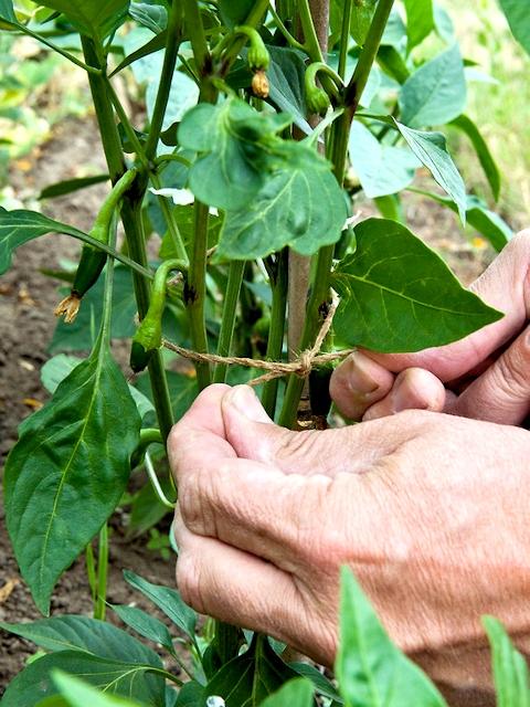Уход за овощными растениями в огороде в июле