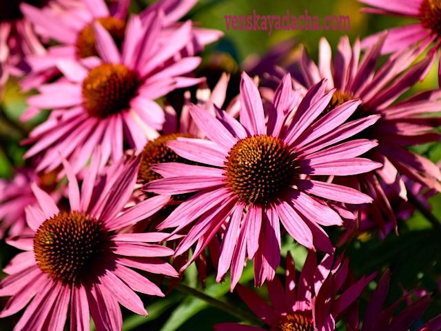 Эхинацея пурпурная - выращивание
