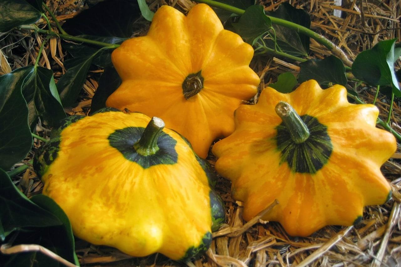 Как получить богатый урожай патиссонов на своем участке