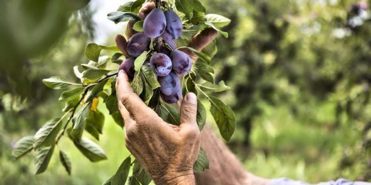 Слива - сбор и хранение урожая