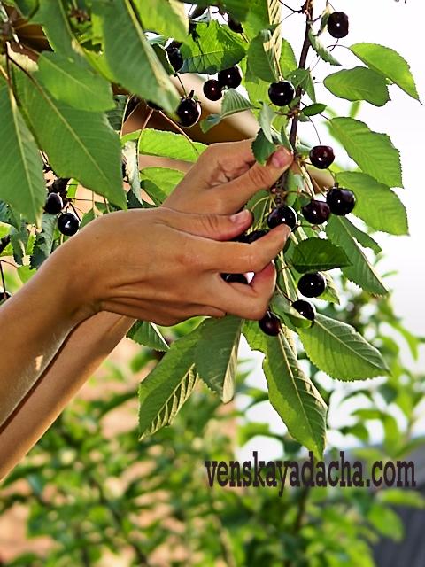 Вишни - сбор плодов