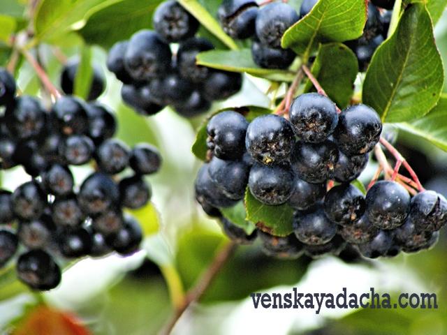 Ягодники в сентябре - черноплодная рябина