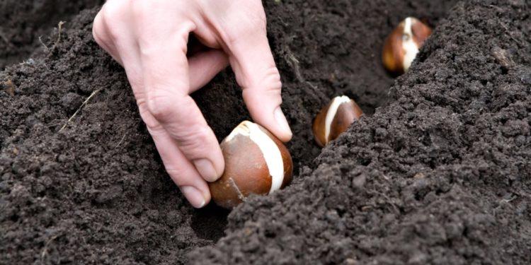 Тюльпаны - как посадить луковицы