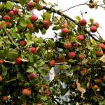 Лечебные свойства алычи - Венская дача