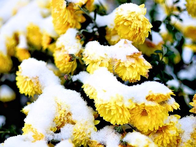 Зимовка хризантем