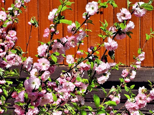 Выращивание миндаля на даче