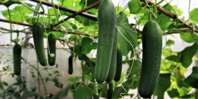 Как вырастить огурцы на балконе