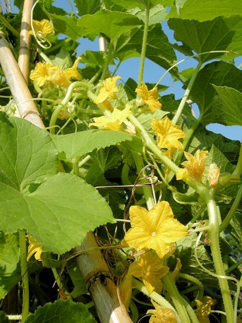 Сорта и гибриды огурцов для выращивания на балконе